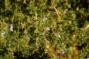 Bee in rosemary bushes at the Rally
